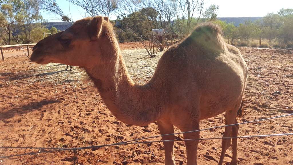 A friendly camel at the Kings Creek Station homestead